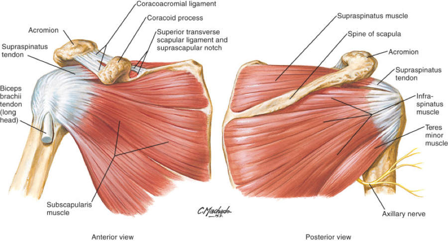 Exam Series  Guide To The Shoulder Exam